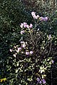 Azaelea species at Capel Manor College Gardens Enfield London England.jpg