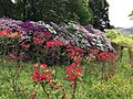 Azalea flowers in Mifuneyama Garden 6.jpg