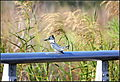 BELTED KINGFISHER (8318969196).jpg