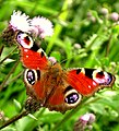 BUTTERFLY - panoramio - encsere.jpg
