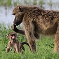 Baboons, Chobe National Park, Botswana - 2 (37871573945).jpg