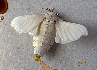Baco-da-seta-ghiandole-feromoni (38).jpg