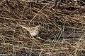 Baird's Sparrow Curly Horse Ranch Rd Sonoita AZ 2018-01-26 09-46-39 (39936702431).jpg