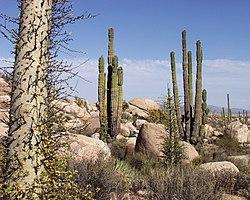 Flora of Baja California Desert, Cataviña region, Mexico.