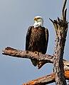Bald Eagle on Merritt Island.jpg