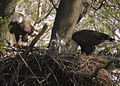 Bald eagle father feeding his chicks (5847577400).jpg