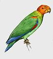 Bald parrot.JPG