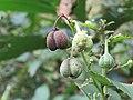 Baliospermum montanum - Red Physic Nut at Mayyil (3).jpg