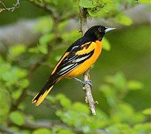 Baltimore Oriole Wikipedia