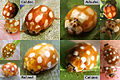 Bambi ladybirds 4 common species.jpg