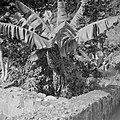 Bananenboom, Bestanddeelnr 255-6744.jpg