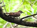 Banded bay cuckoo (ചെങ്കുയിൽ ) - 7.jpg