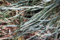 Banksia nivea subsp uliginosa foliage.jpg
