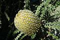 Banksia speciosa - San Francisco Botanical Garden - DSC09889.JPG