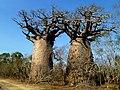 Baobab Andombiry Morombe Madagascar - panoramio (4).jpg