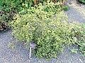Baptisia alba var. alba - J. C. Raulston Arboretum - DSC06284.JPG