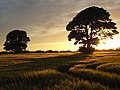 Barley with trees and the setting sun, Rockcliffe - geograph.org.uk - 820926.jpg