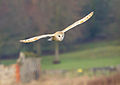 Barn Owl South Acre 1.jpg