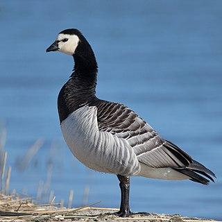 Barnacle goose species of bird