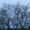 Barren tree in Green Lake, Seattle.jpg