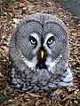 Bartkauz - Great Grey Owl (Strix nebulosa) - Weltvogelpark Walsrode 2012-004.jpg