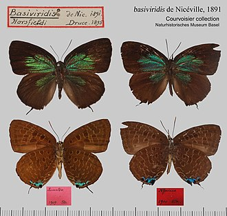 Arhopala horsfieldi - A. h. basiviridis Courvoisier Collection, Basel