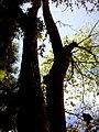Batang Pohon Tembaga, Banyumas.jpg