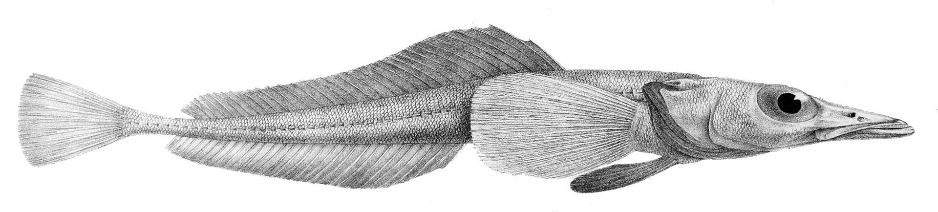 Przedstawiciel rodzaju – Bathydraco antarcticus