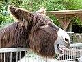 Baudet du Poitou donkey Esel 04.jpg