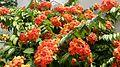 Bauhinia kockiana flowers 1.jpg