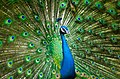 Beautiful-male-peacock-2363750 960 720.jpg