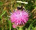 Bee (27989756825).jpg