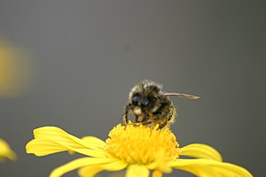 A Bee Collecting pollen off a Yellow Daisy