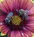 Bee flower031713-3a2 (8586464855).jpg