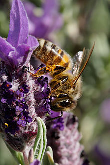 Bee on topped lavendar.jpg