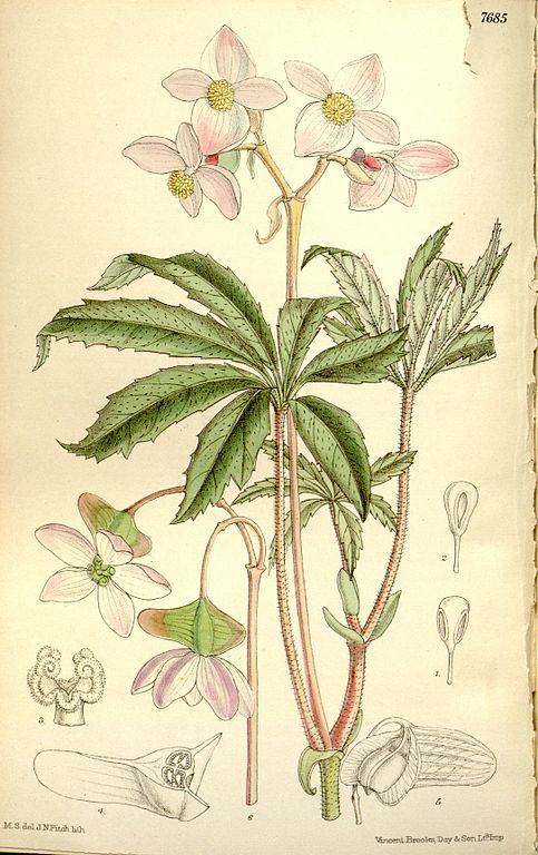 Begonia hemsleyana: SPECIES TALK – MARCH MEETING