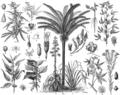 Beklädnadsväxter, Nordisk familjebok.png