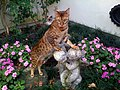 Bengal Katze.jpg