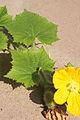 Benincasa pruriens in Guangfeng 2012.10.27 12-40-41.jpg