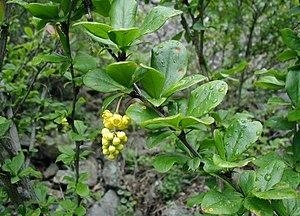 Berberis vulgaris - Image: Berberis vulgaris flowers