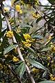 Berberis gagnepainii - Fleurs2.jpg