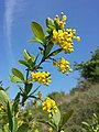 Berberis vulgaris sl2.jpg