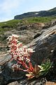Bergfrue, Chondrosea cotyledon.jpg