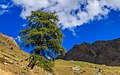 Bergtocht van Gimillan (1805m.) naar Colle Tsa Sètse in Cogne Valley (Italië). Europese lariks (Larix decidua) langs het bergpad 02.jpg