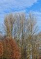 Berijpte zwarte populieren (Populus nigra) tegen de vrieslucht. Locatie, Natuurterrein De Famberhorst 01.jpg