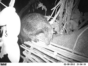 Binturong - Binturong photographed by a camera trap at a feeding platform on a fruiting Ficus