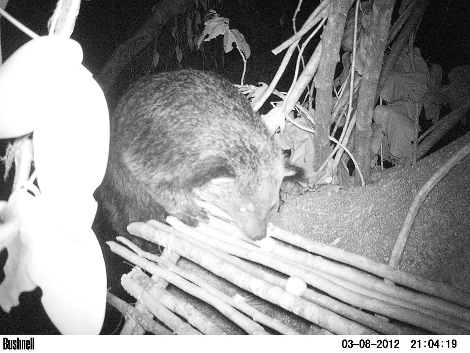 Binturong (Arctictis binturong) camera trapped at a feeding platform on a fruiting Ficus at Pakke tiger reserve