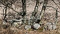 Birches and boulders beside a field.jpg