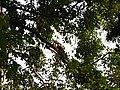 Bird White-throated Brown Hornbill Anorrhinus austeni IMG 9075 03.jpg