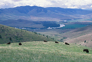 Ecology of the Rocky Mountains - Bison grazing in grassland, Montana